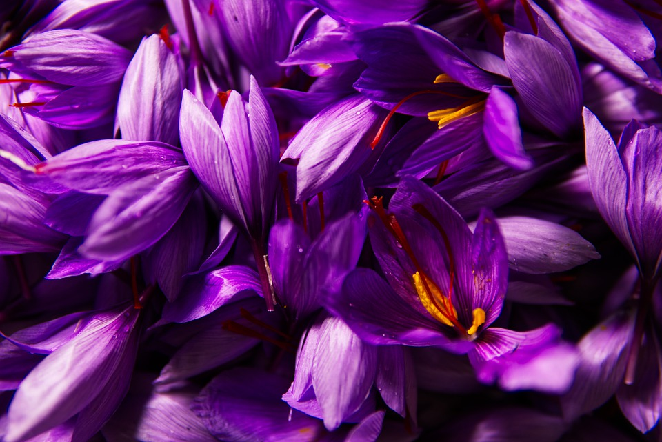 Saffron Helps Treat Depression; and Has Many Other Health Benefits