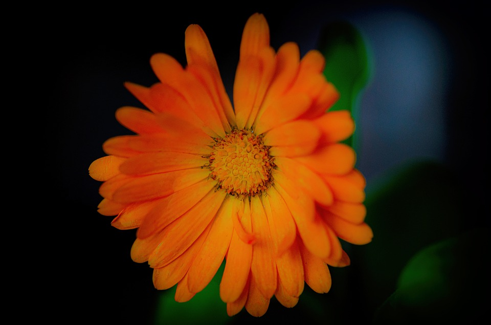 Benefits of Marigold Flower and Homemade Marigold Cream