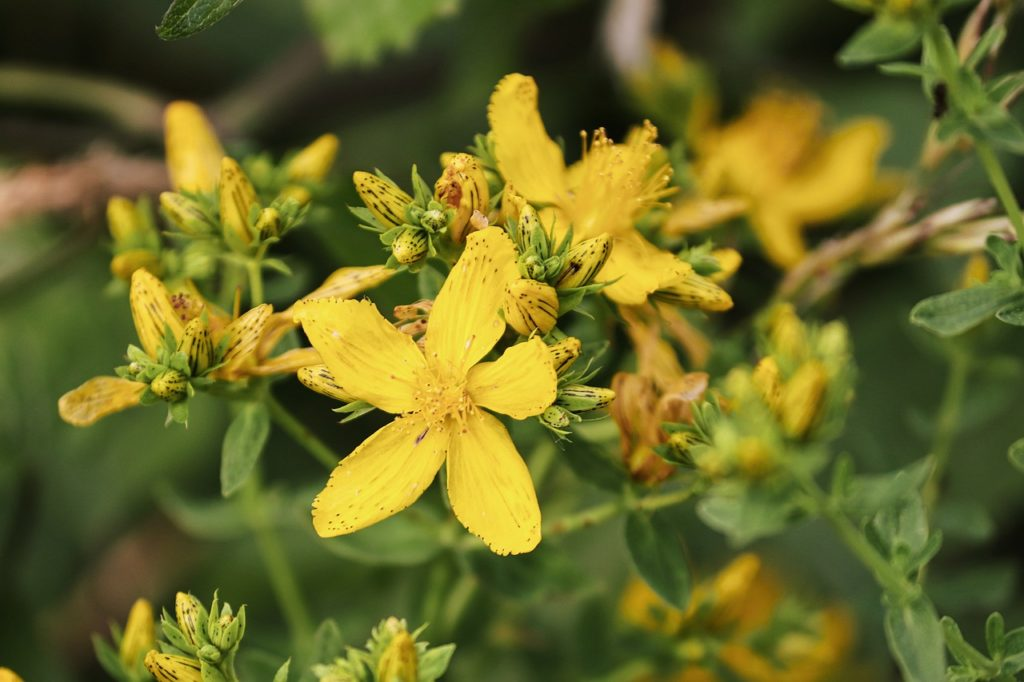 Benefits of Centaury Oil – Does St. John's Wort Oil Help?
