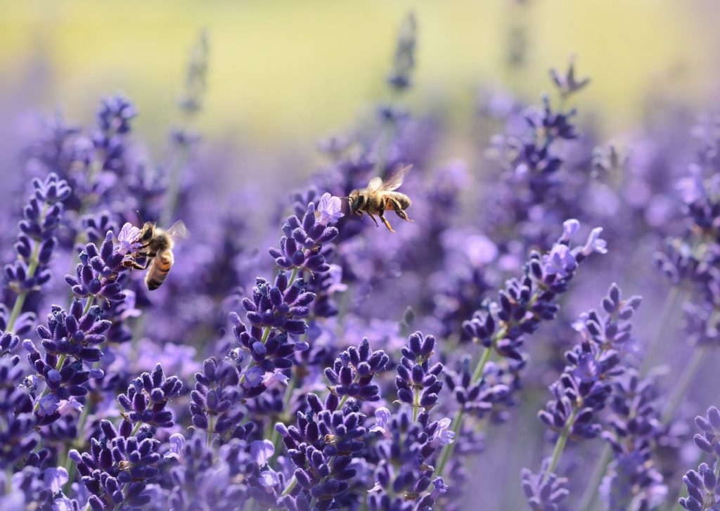 Benefits of lavender – What are benefits of Lavender Oil?