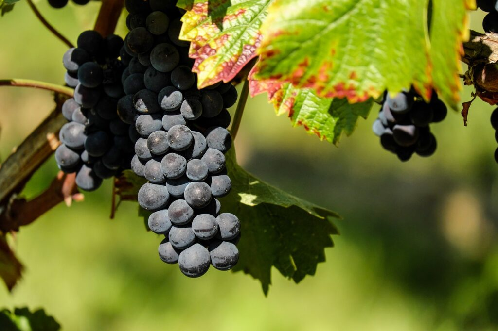 7 Benefits of Grape Seed for the Health